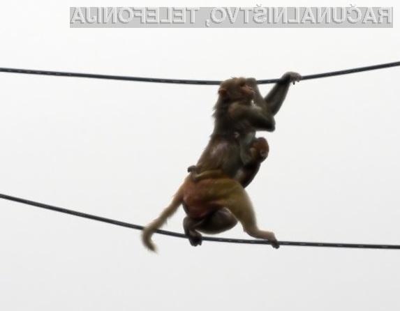 Opice v Indiji naravnost obožujejo internetne in električne kable.